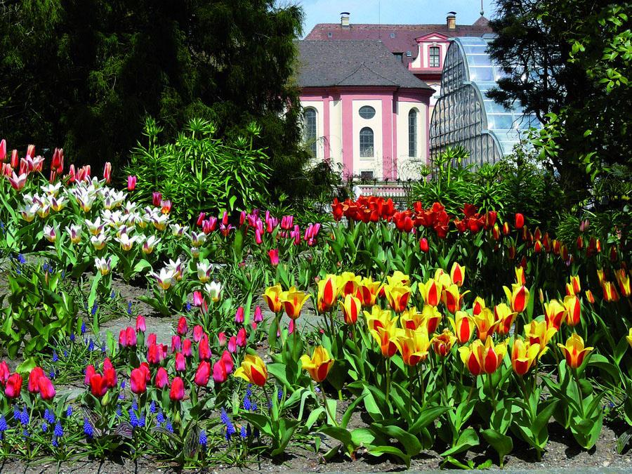 Тюльпани, острів Майнау, Німеччина